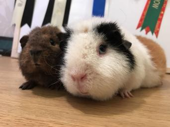 R Guinea Pigs Rodents guinea pigs - R...