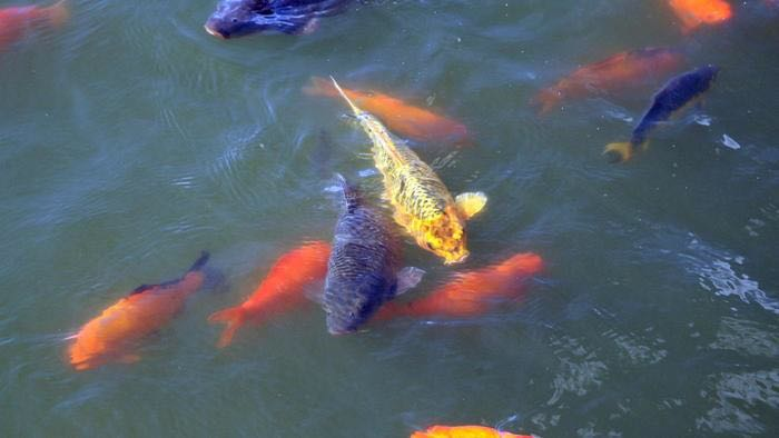 Unwanted pond fish koi carp coarse fish great new home for Pond fish wanted
