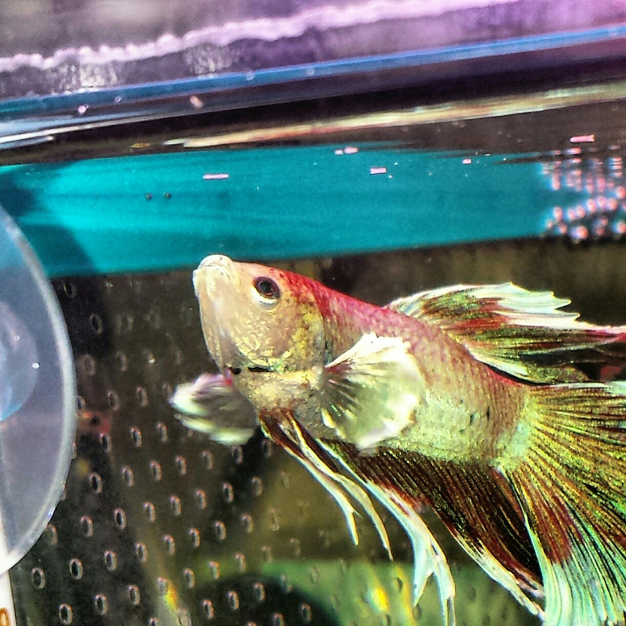 Betta fish for sale in uk 30 second hand betta fishs for Beta fish for sale