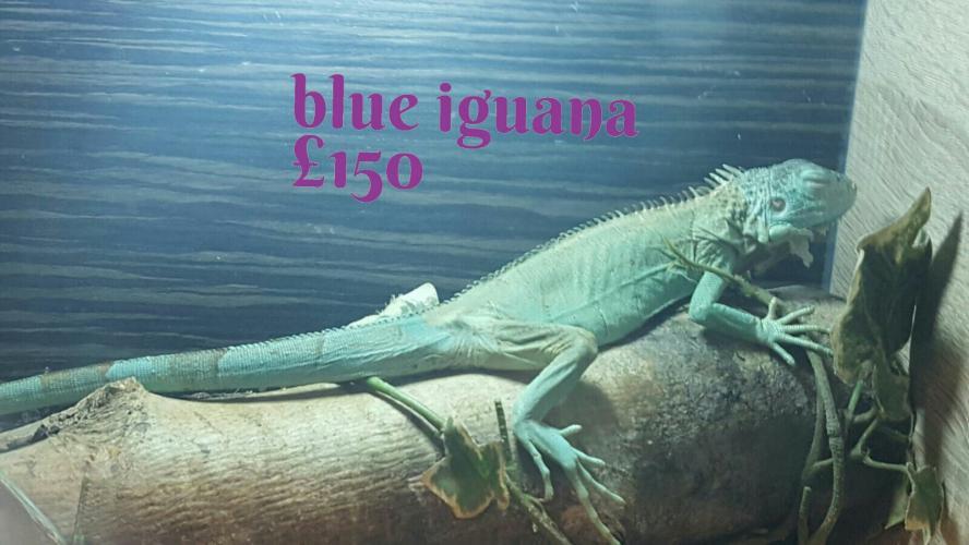 Blue Iguana For Sale In Ashton Ubder Lyne Lancashire
