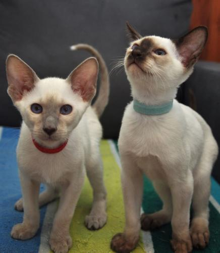 Preloved Siamese Cats For Sale