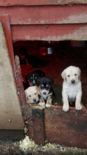 Stunning Beagledor Puppies For Sale In Uttoxeter