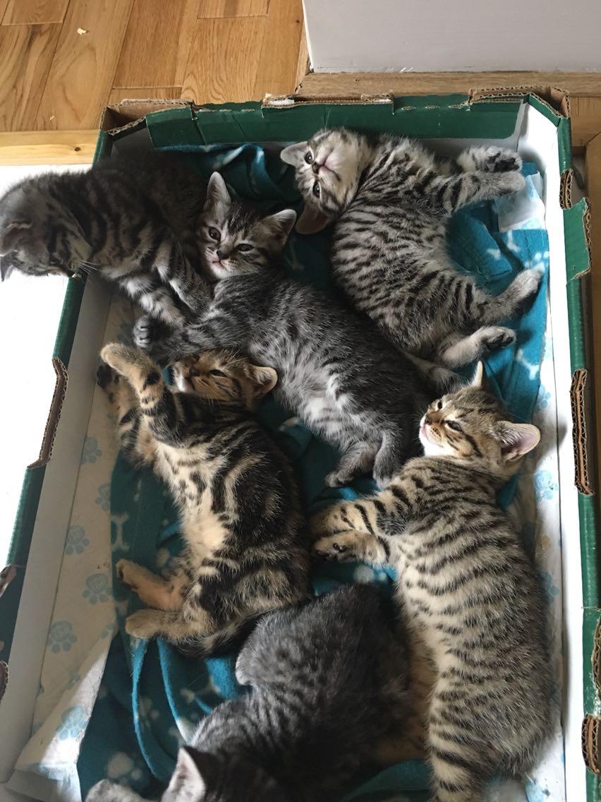 Buy british cat in ireland