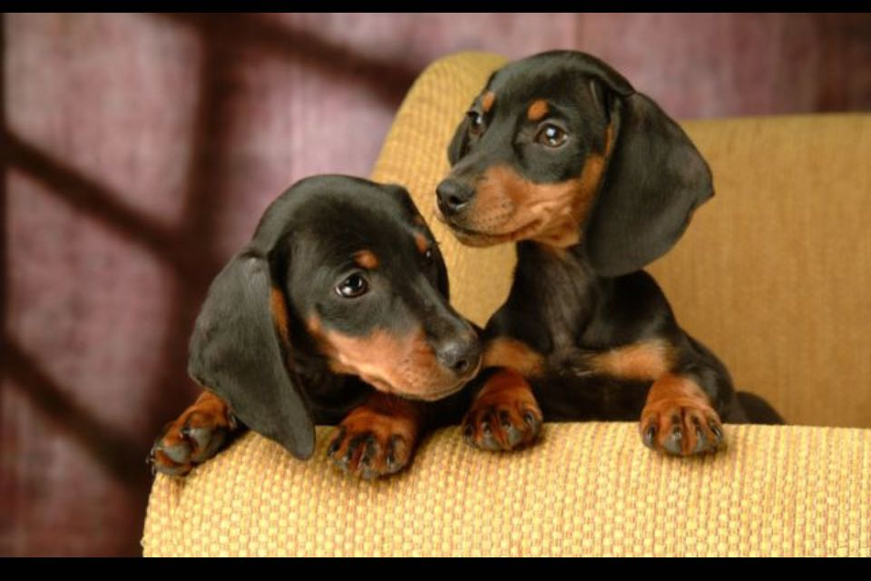 Miniature dachshund puppies rescue uk