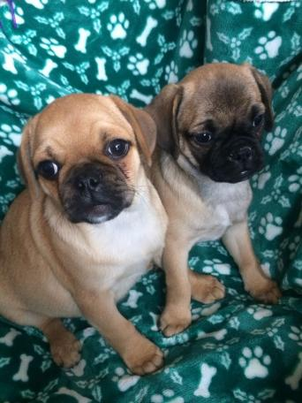 Jug Dogs For Sale Ireland