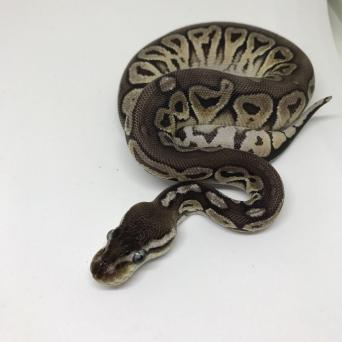 Reptiles Rehome Buy And Sell In The Uk And Ireland Preloved