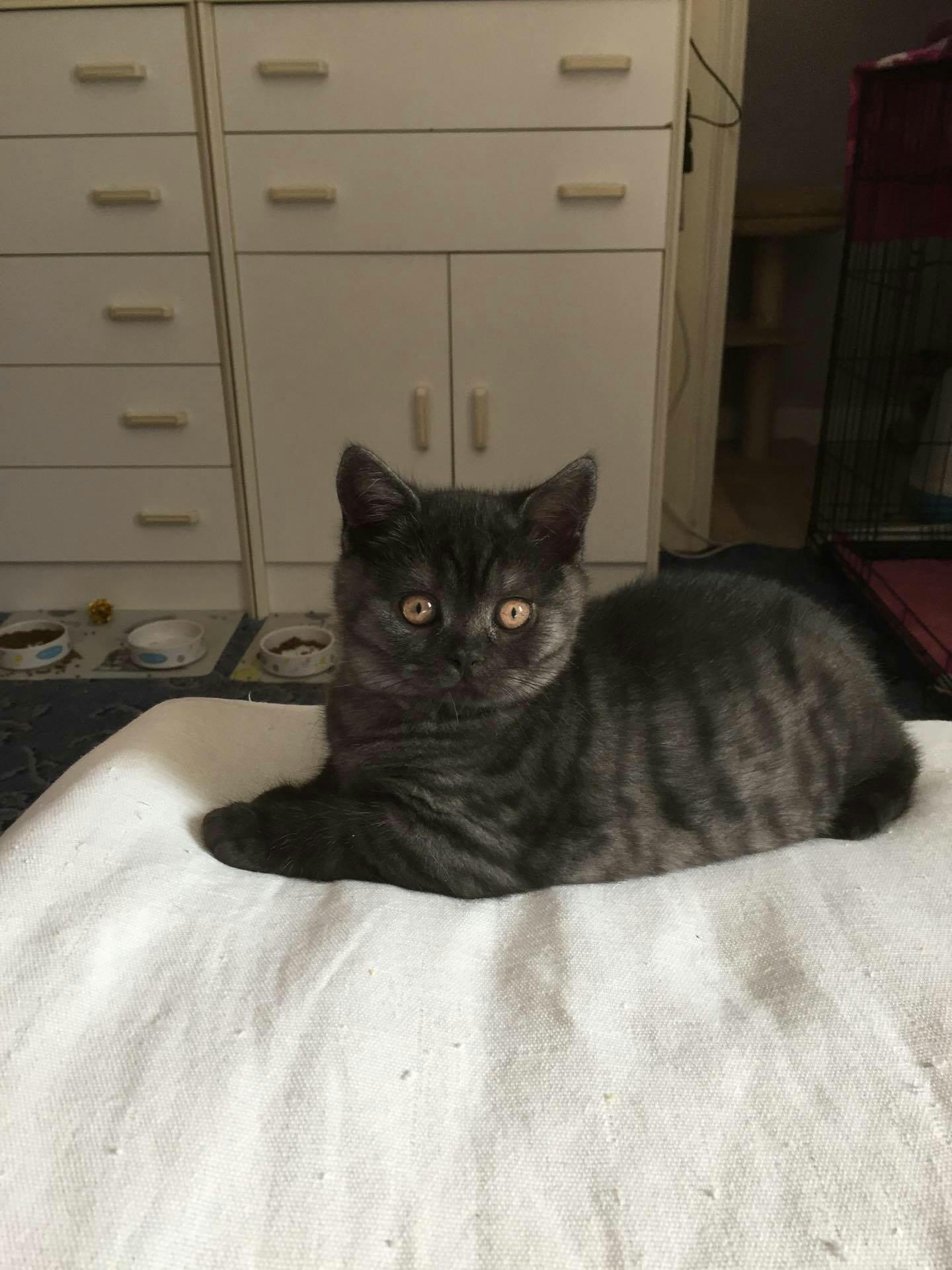 British cat ireland