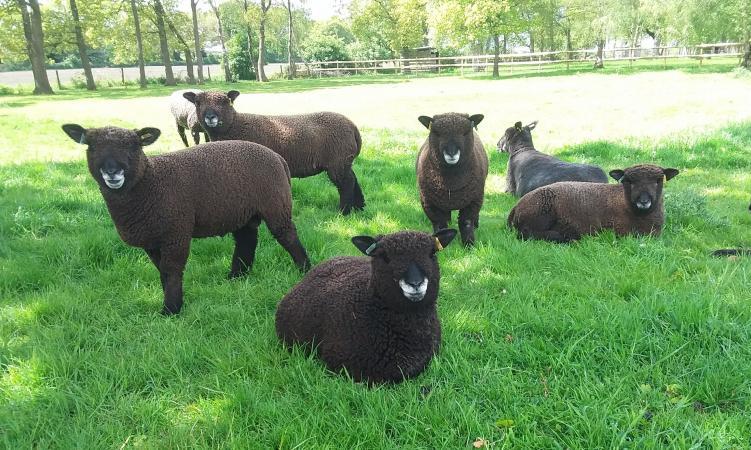 Image 6 of Malt Kiln Coloured Ryeland Flock 2021 lambs