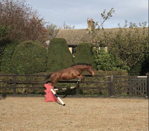 Image 2 of Rising 2yr old Sports Horse *For Sale* updated**