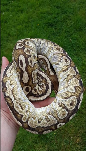 ball python - Reptiles, Rehome Buy and Sell | Preloved