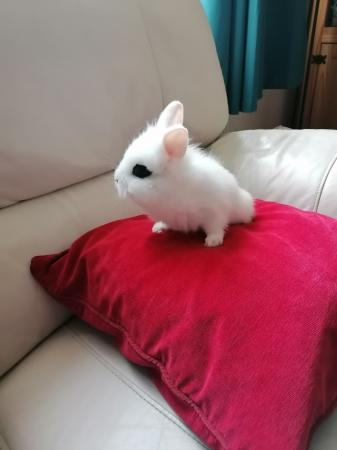 Image 2 of baby lion head rabbit for sale
