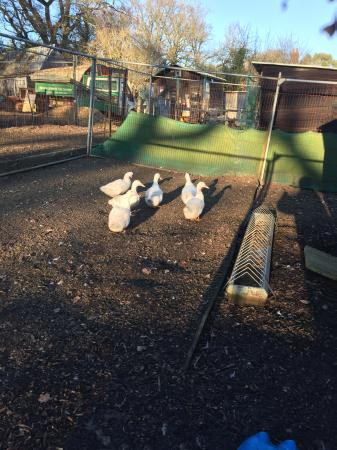 Image 5 of CHERRY VALLEY DUCKS, hatching eggs £1.50 each