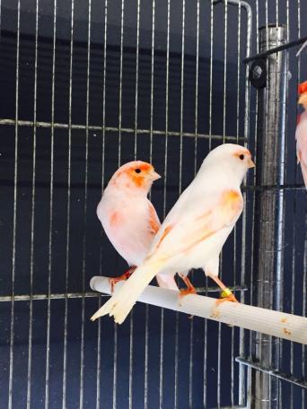 bird for sale in essex