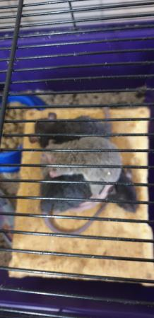 Image 18 of Tame Young/baby rats for sale (guaranteed tame)