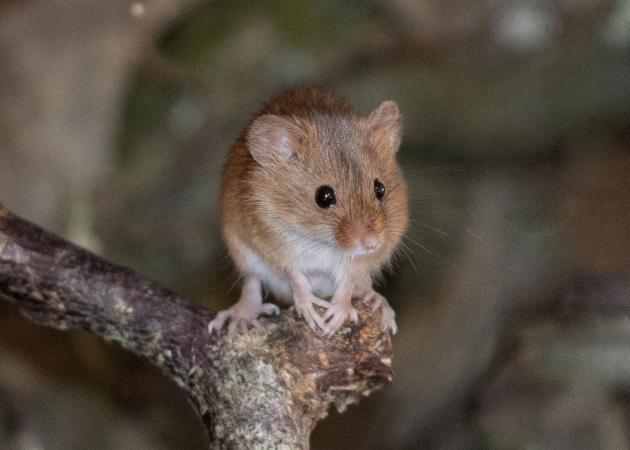 Image 2 of Harvest mice