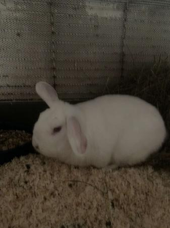 Image 1 of Albino Rabbit For Sale