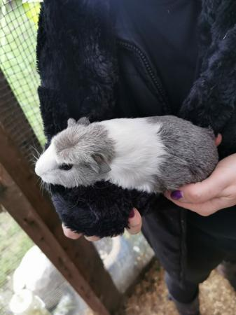 Image 3 of male guinea pigs