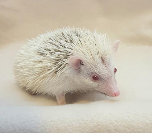 Image 3 of African Pygmy Hedgehog - Stunning Cinnamon Reverse Pinto