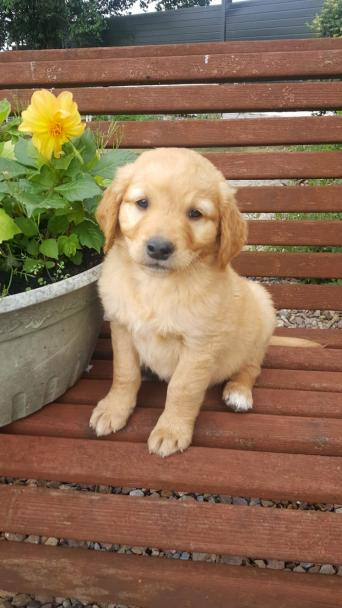 golden retriever - Dogs & Puppies, Rehome Buy and Sell | Preloved