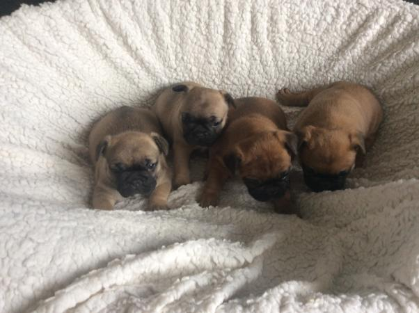 Image 5 of KC French bulldogs fluffy carriers/1 boy left