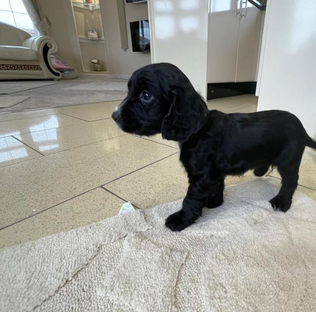Preview of the first image of cocker spaniel puppies.