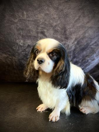 Image 1 of KC CAVALIER OSCAR FOR STUD