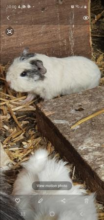 Image 7 of guinea pigs babies ready now