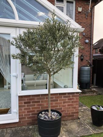 Image 1 of Large olive tree in a pot