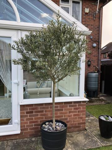 Preview of the first image of Large olive tree in a pot.