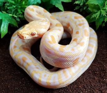 snakes - Reptiles, For Sale in Hampshire | Preloved