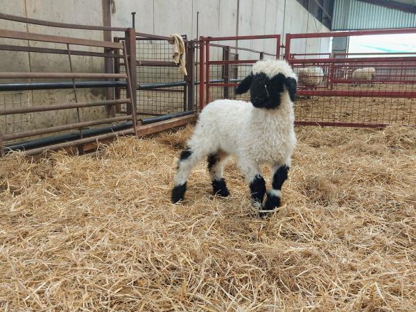 Image 3 of Selection of Quality Valais Blacknose Ewe Lambs