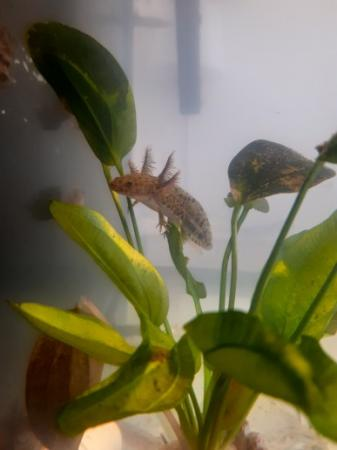 Image 3 of Beautiful Juvenile Axolotls £8 or 2 for £15