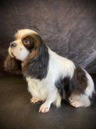 Image 3 of KC CAVALIER OSCAR FOR STUD