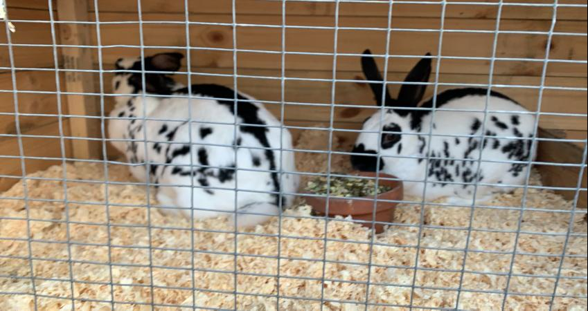 Image 1 of 2 English doe rabbits