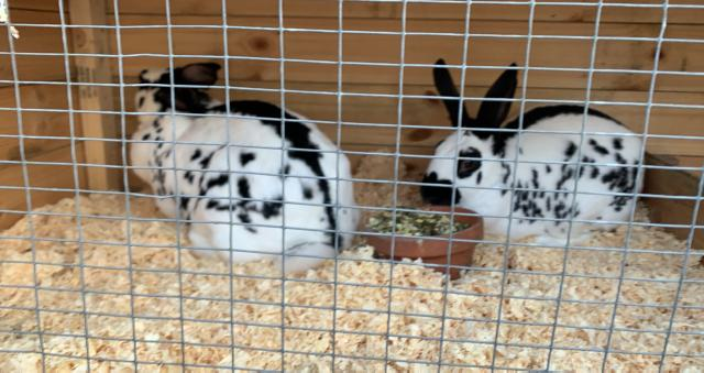 Preview of the first image of 2 English doe rabbits.