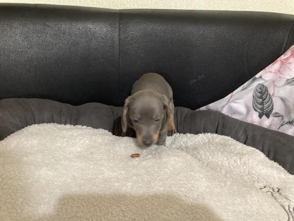 Image 2 of Dachshund puppies