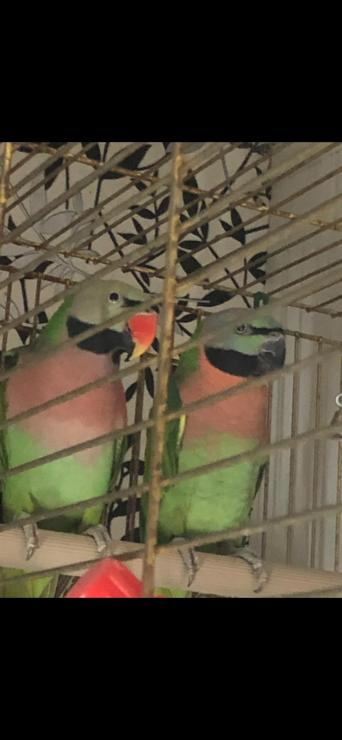 moustache parakeet - Birds, Rehome Buy and Sell | Preloved