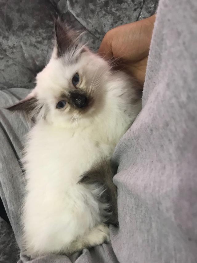 Full pedigree ragdoll kittens for sale  Seal point females