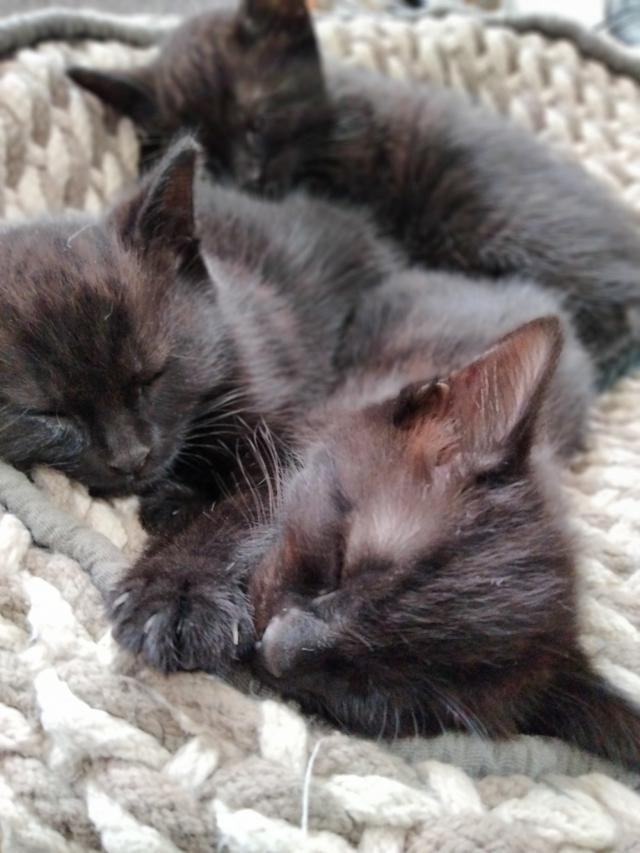 Preview of the first image of Black kittens.