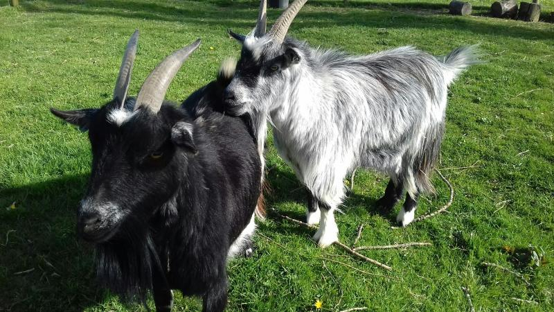 Image 1 of Two friendly goats for sale
