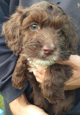 Cockapoo Dogs and Puppies to Rehome, Buy and Sell | Preloved