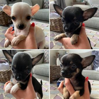 chihuahua - Dogs & Puppies, For Sale in Leicester   Preloved