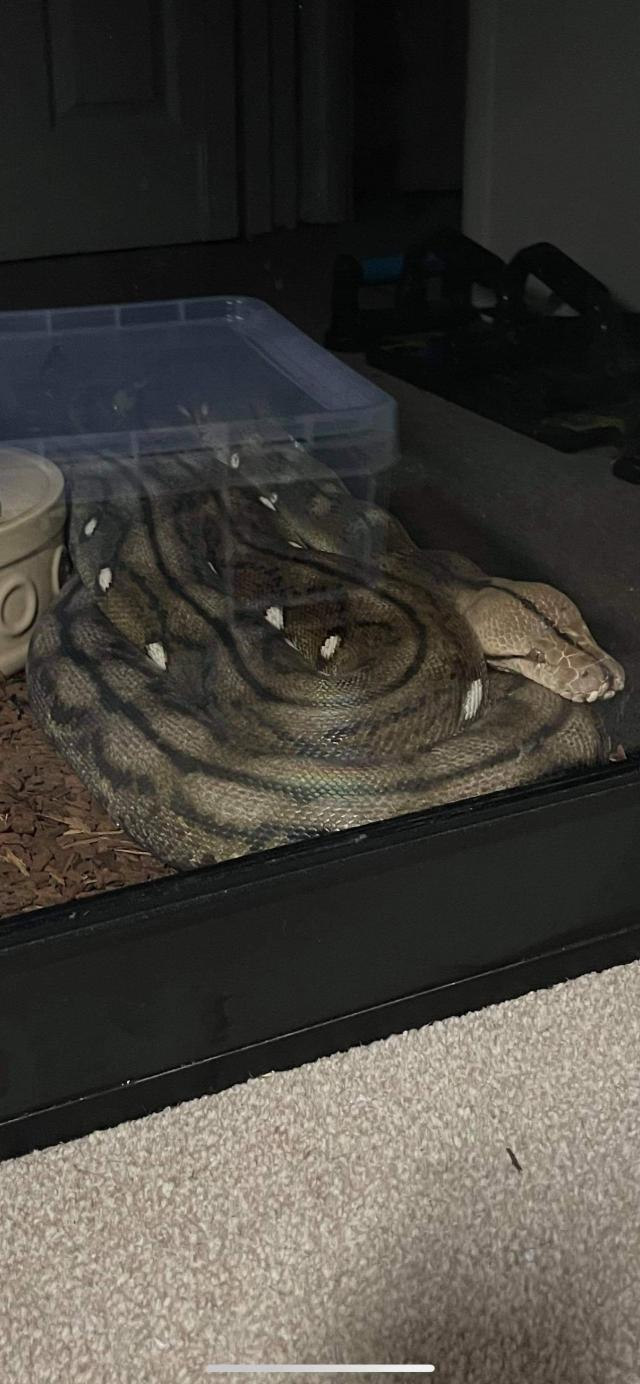 Preview of the first image of ON HOLD Motley Tiger Reticulated Python - 2017 Female.