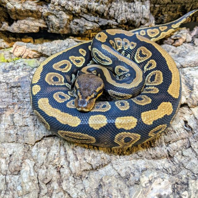 Preview of the first image of 0.1 CB20 Mahogany Het Clown Ball Python.