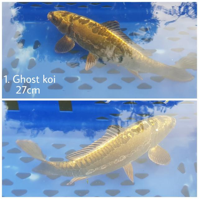 Preview of the first image of Ghost koi.