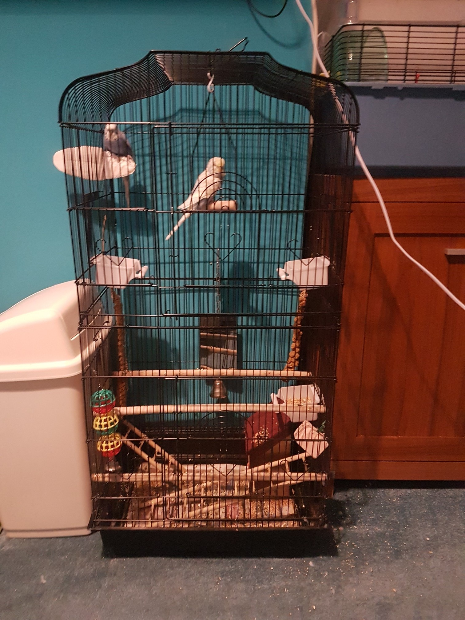with rest of food millet and food bowls and accessories they are around 6 month old so good age to be fully hand trained one budgies has hurt it s