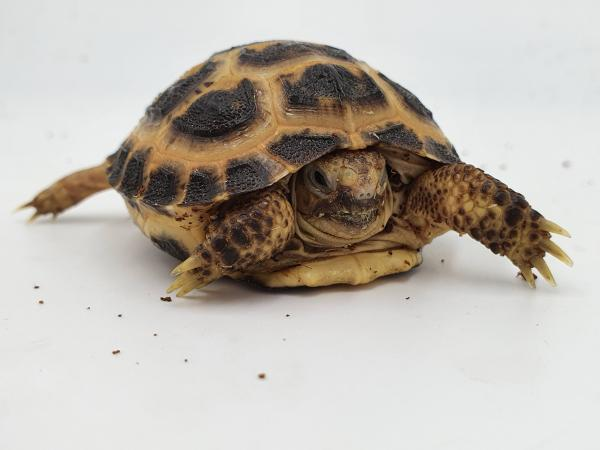 Image 2 of cb20 baby horsefield tortoise