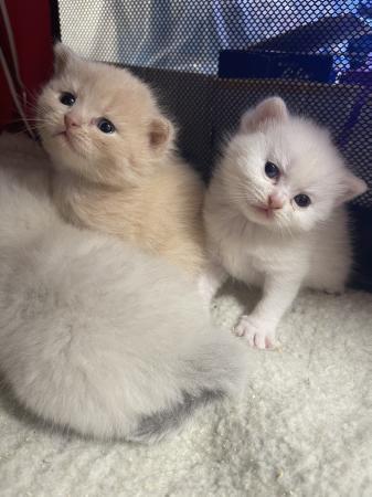 Image 2 of British shorthaired kittens