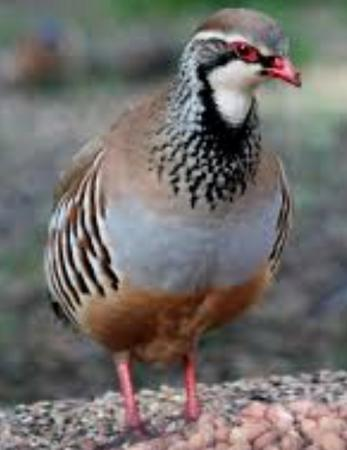 Image 1 of red legged partridge