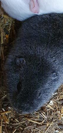 Image 7 of male guinea pigs
